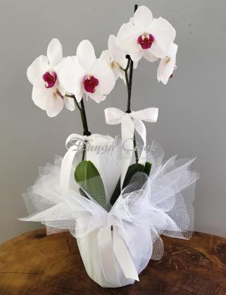 Midi Çift Dal Beyaz Orkide
