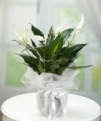 Barış Çiçeği Boy 75 cm