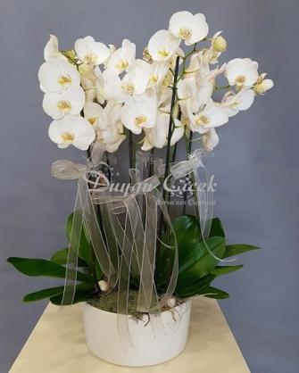 Orkide Bahçesi Standart