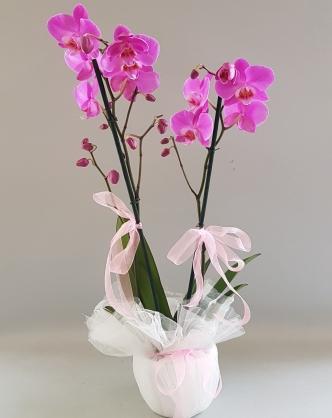Çift Dallı Renkli Orkide