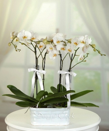 Zarif Orkideler