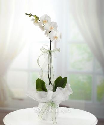 Berrak Orkide